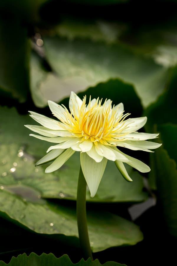 Wanter, fleur, fin, usine, pourpre, lis de pourpre, Teichrose pourpre, fleur pourpre, violette, nénuphar de pourpre photographie stock