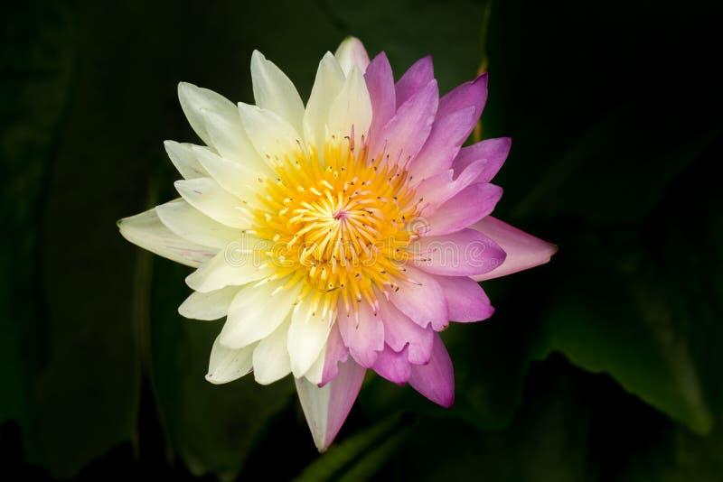 Wanter, Flower, Close Up, Plant, Purple, Purple Lily, Purple Teichrose, Purple Flower, Violet, Purple Water Lily. Purple Water Lily Water Flower Water Lily stock photos