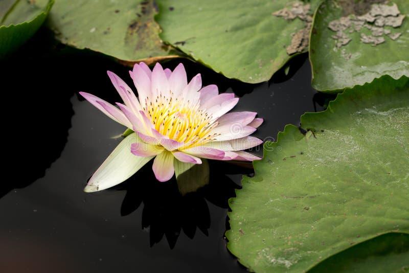 Wanter, Flower, Close Up, Plant, Purple, Purple Lily, Purple Teichrose, Purple Flower, Violet, Purple Water Lily. Purple Water Lily Water Flower Water Lily royalty free stock photo