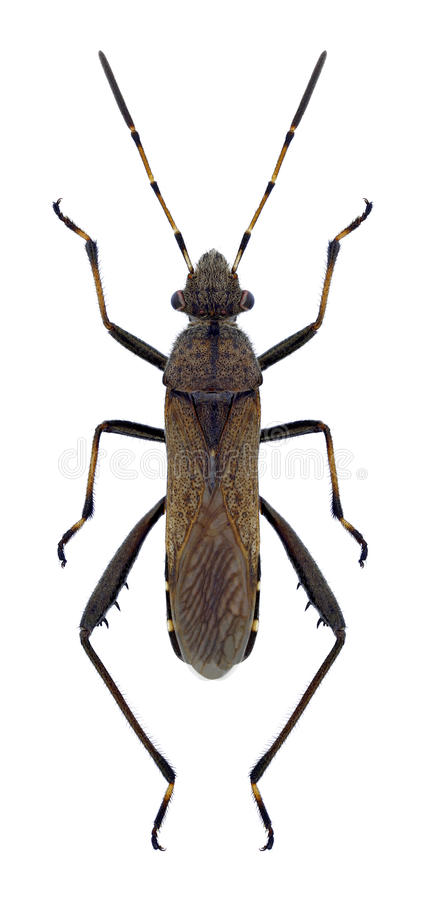 Wanze Alydus-calcaratus lizenzfreies stockfoto