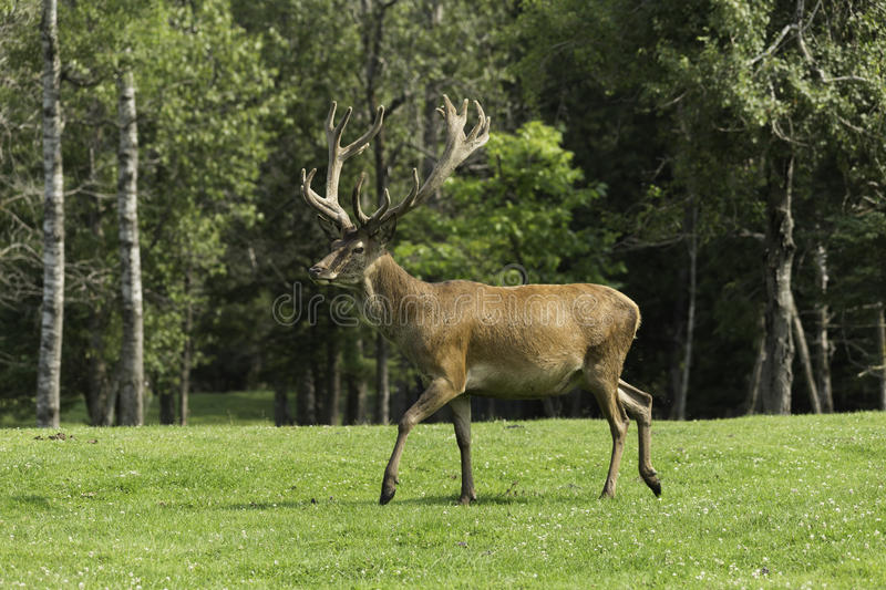 A Wapiti grazes on some grass royalty free stock photography