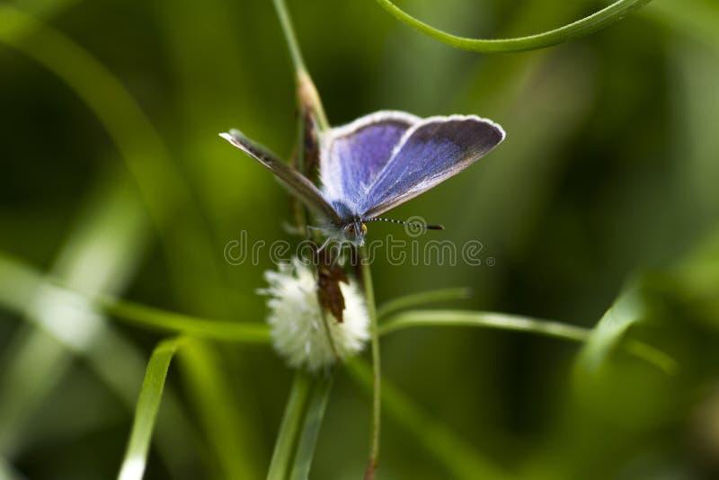 Wapna błękit motyl - kobieta - Chilades Lajus - obrazy stock
