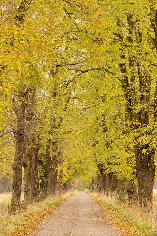 Wapna drzewa aleja zdjęcia royalty free