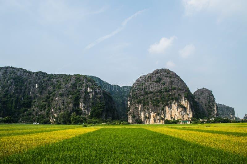 Wapnia krajobraz z Ryżowymi irlandczykami w Neonowej zieleni i kolorze żółtym fotografia royalty free