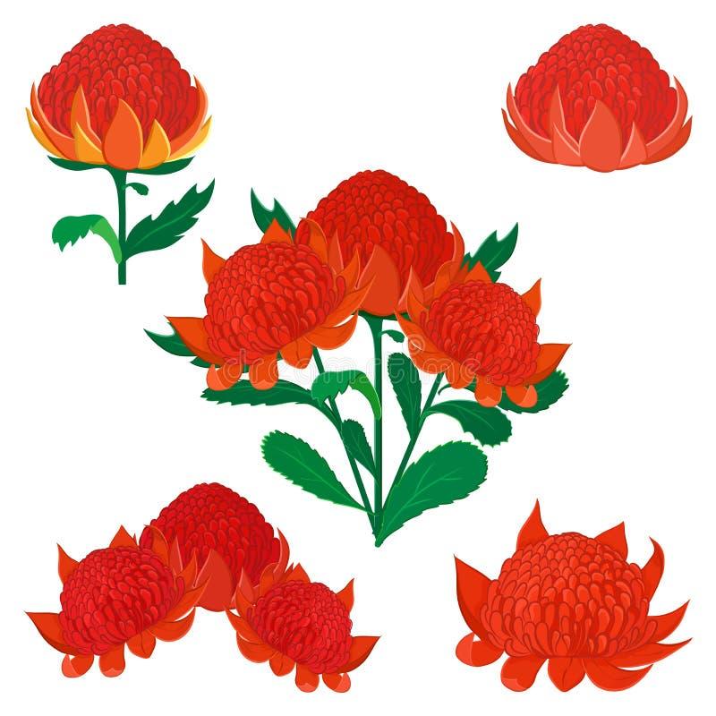 Waratah eller Telopea, australisk infödd buskeblomma royaltyfri illustrationer