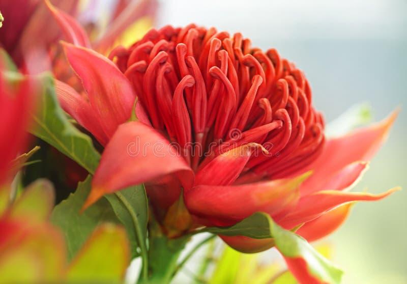 Waratah flower royalty free stock photo
