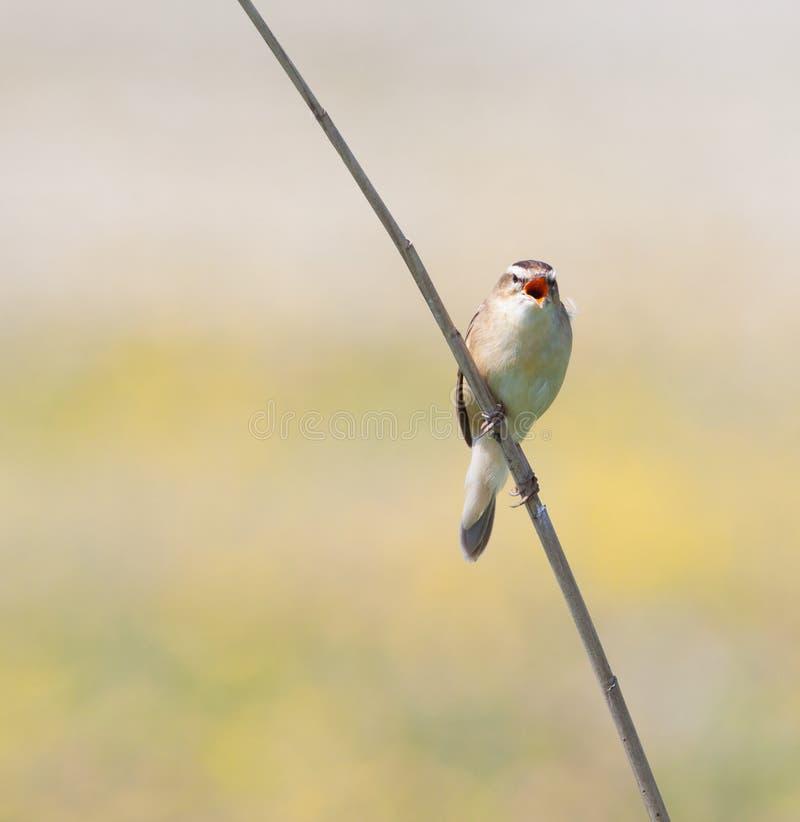 warbler петь осоки schoenobaenus acrocephalus стоковая фотография