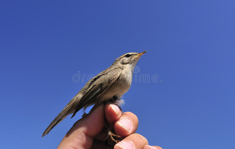 Download Warbler stock photo. Image of bird, birds, hand, feather - 25303124