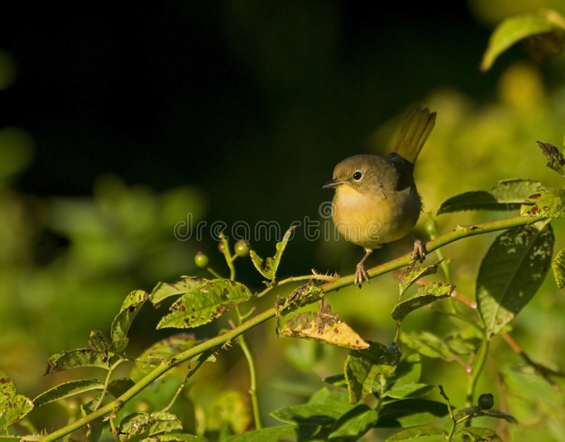 Download Warbler stock photo. Image of warbler, trichas, wildlife - 8757234