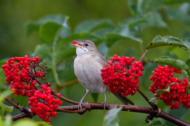 Warbler bird eats the ripe red berries of elderberry in the summer garden stock image