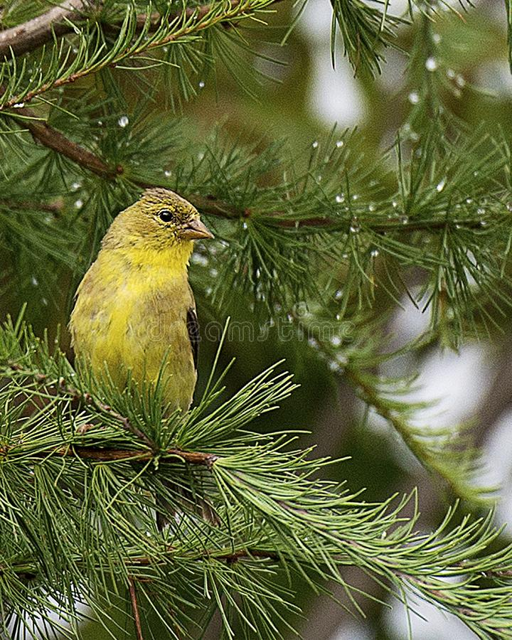 Warbler bird stock photos.  Warbler bird close-up profile view perched on pine tree royalty free stock photography