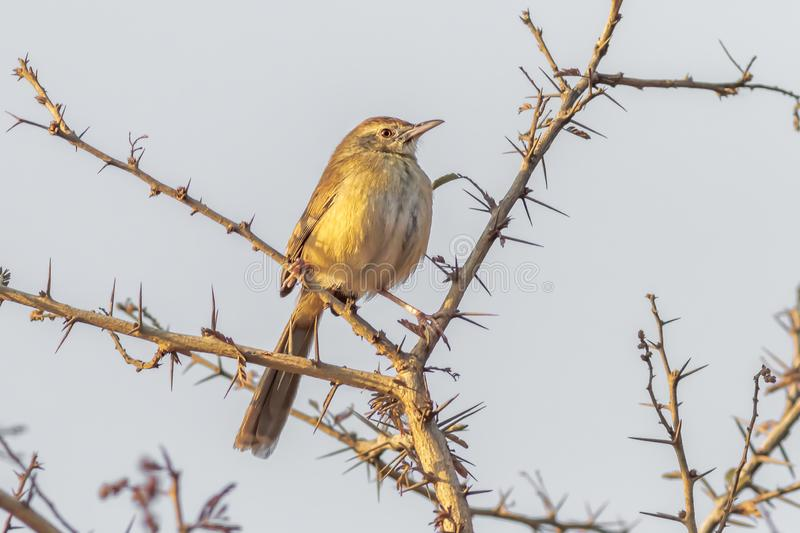 Warbler bird perched on a thorny branch stock photo
