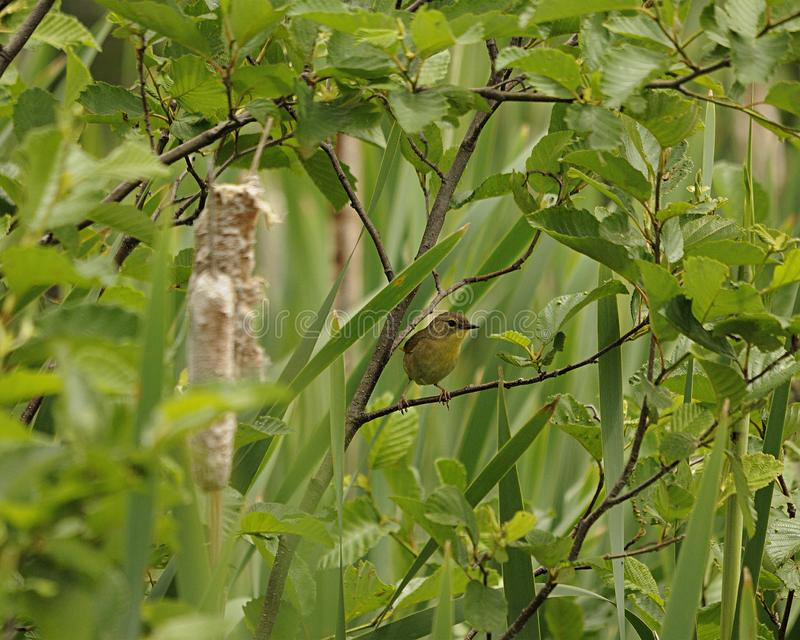 Warbler bird stock photos.  Warbler bird perched with yellow plumage. Foreground and background evergreen and foliage stock photos