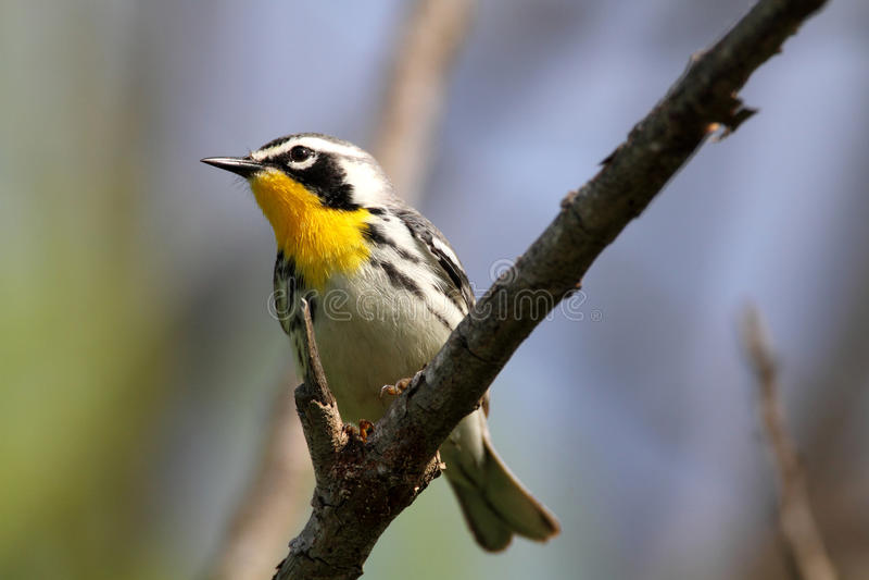 warbler kolor żółty obraz royalty free