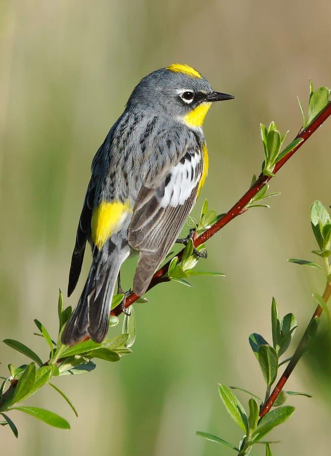 Free Warbler Yellow Rumped Stock Photo - 64141570