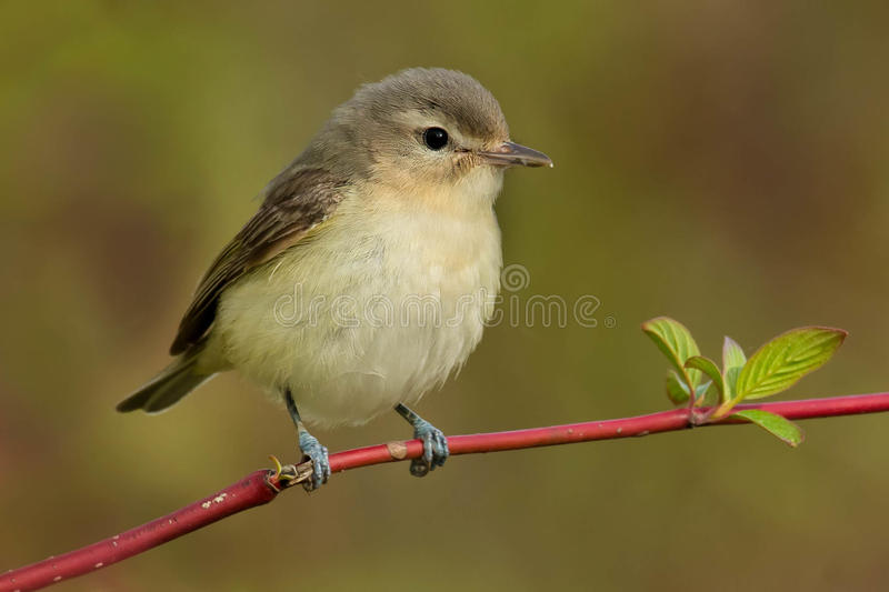 Warbling Vireo. Perched on a branch stock photo