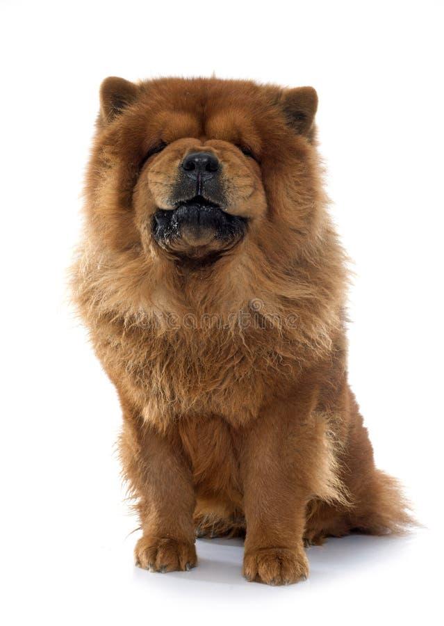 Warczeć chow chow psa fotografia stock