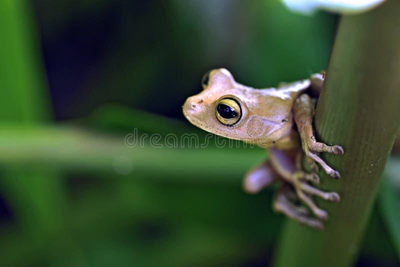Ware die boomkikker, amfibie in het blijven wordt waargenomen Atlantische Rainfore stock foto