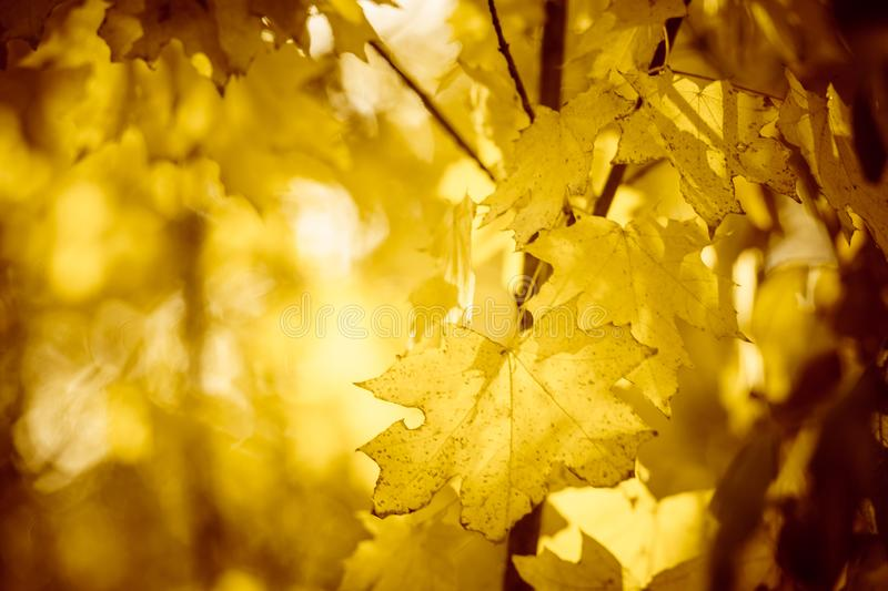 Warm autumn forest with maple trees. Yellow leaves with beautiful sunlight. Golden foliage stock photos