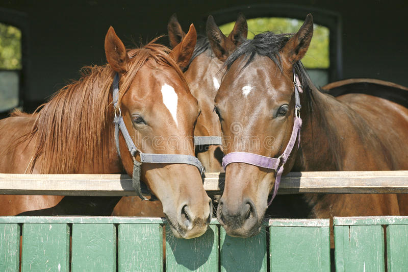 Warm Blood Thoroughbred Horses At The Barn Door Stock Photo Image