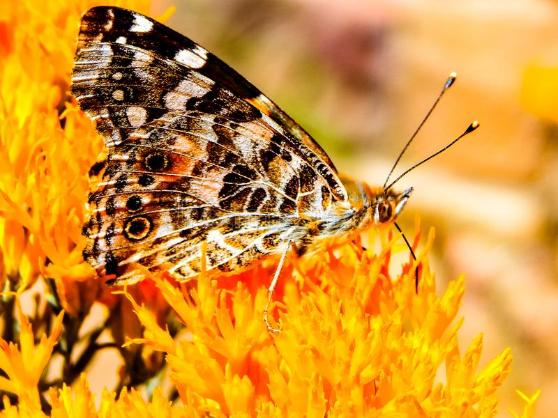 Warm colored butterfly. Spotted butterfly sucking the nector from this flower in Grand Canyon, Arizona stock photo
