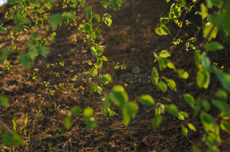 Warm sunlight on the trees. Warm evening sunlight on the trees of the spring forest royalty free stock images