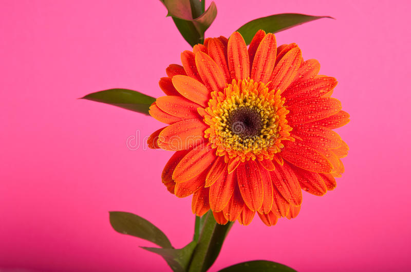 Warm Friendly Daisy Royalty Free Stock Images