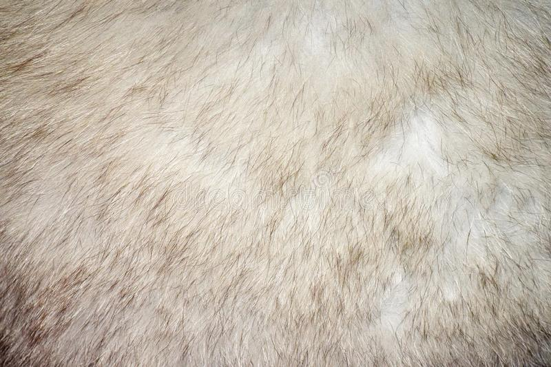 Warm grey Fox fur royalty free stock photography