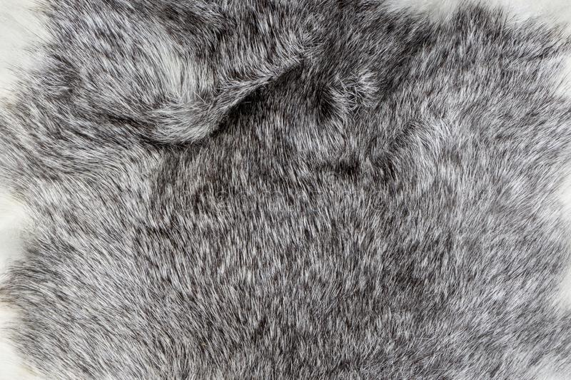 Warm Silver and white natural Animal fur texture background closeup.  royalty free stock image