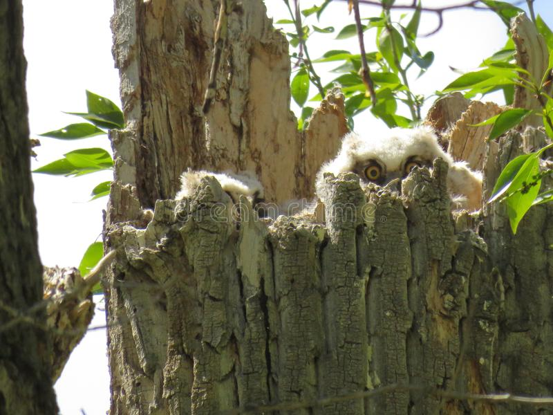 Great Horn Owlets stock photo