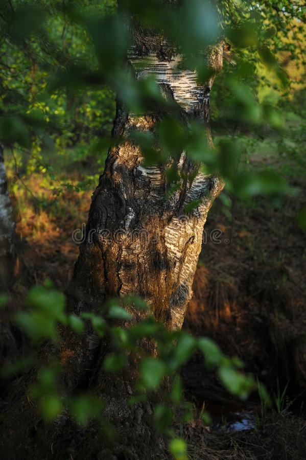 Warm sunlight on the trees. Warm evening sunlight on the trees of the spring forest royalty free stock photos