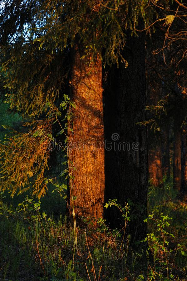 Warm sunlight on the trees. Warm evening sunlight on the trees of the spring forest stock photo