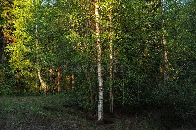 Warm sunlight on the trees. Warm evening sunlight on the trees of the spring forest royalty free stock image