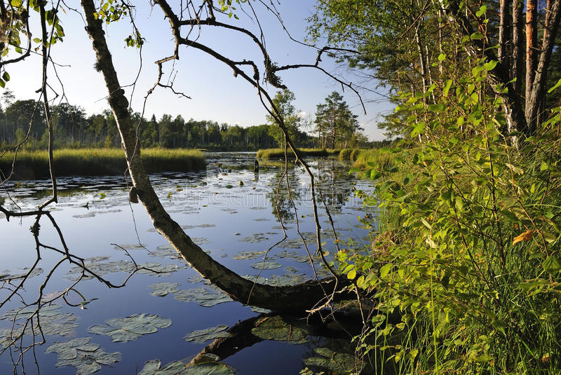 Warm Swedish summer in forest royalty free stock photos
