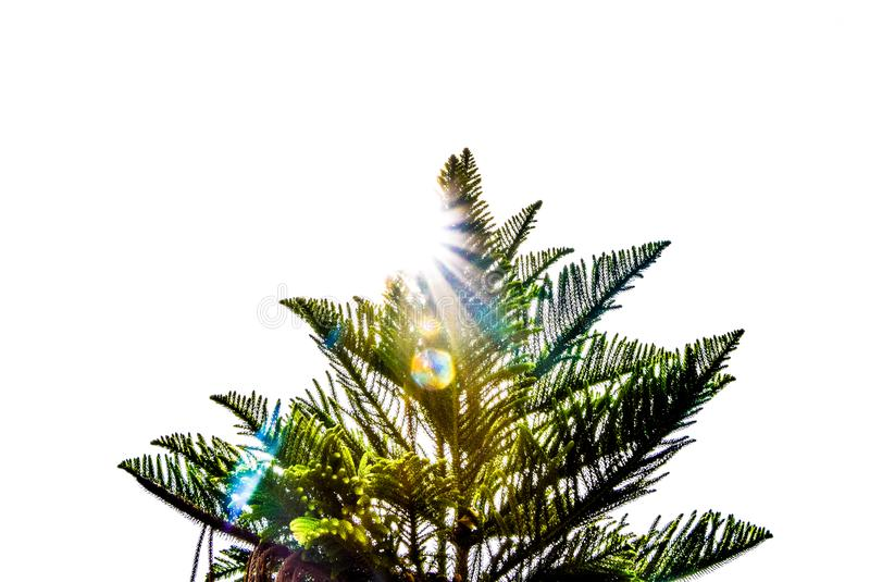 The sun rays on the top of the tree on white background. Warm weather in the morning - The sun rays on the top of the tree on white background abtract backlight royalty free stock images