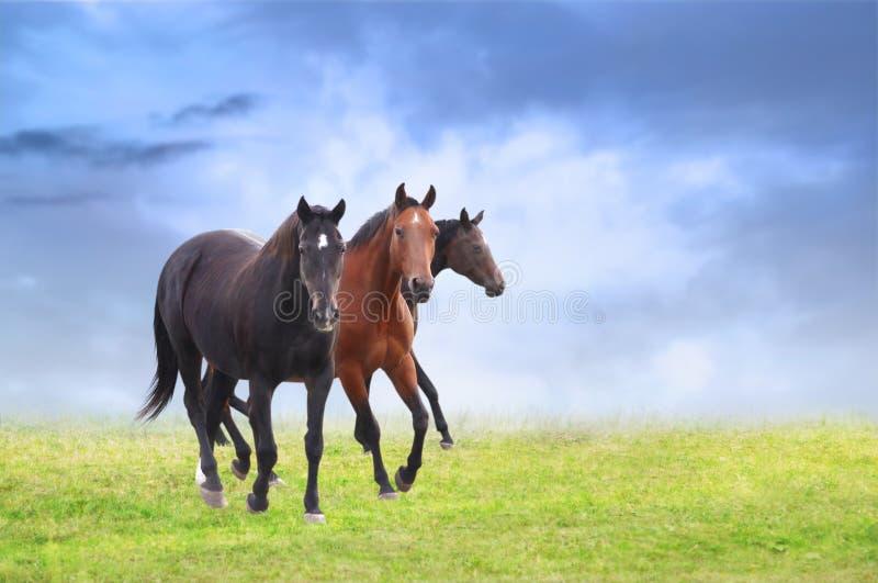 Warmblütige Pferde auf Feld, Hintergrund des blauen Himmels lizenzfreies stockbild