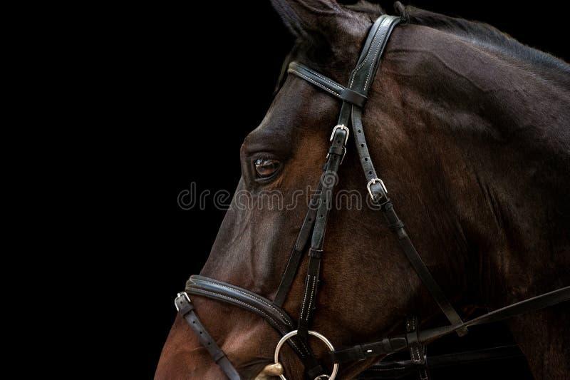 Warmblood马头在黑背景隔绝的体育鞔具的特写镜头细节 库存图片