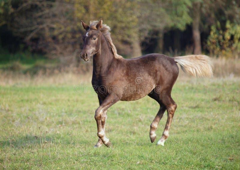 The warmblood foal runs on a meadow. The warmblood foal  of silvery-black color runs on a meadow stock photo