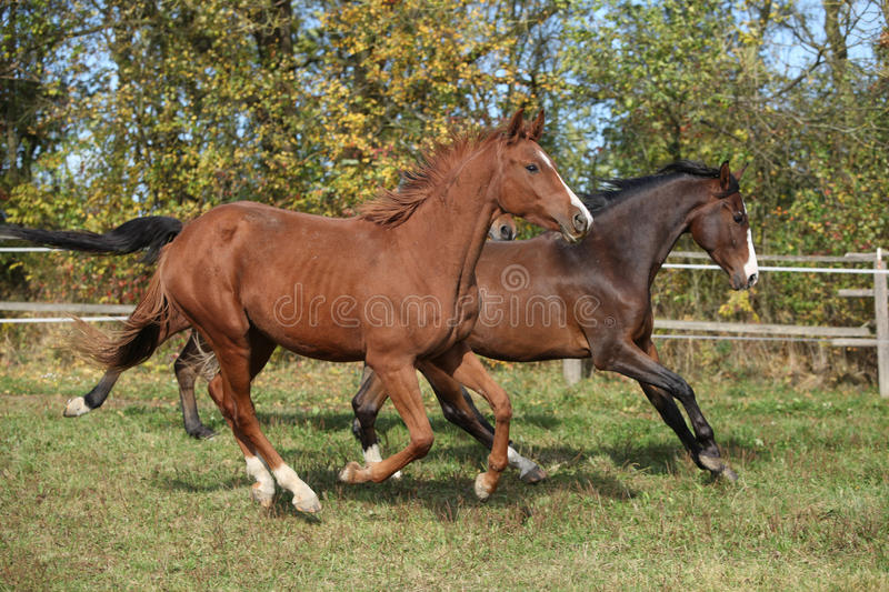 Warmblood horses running on pasturage. In autumn royalty free stock images