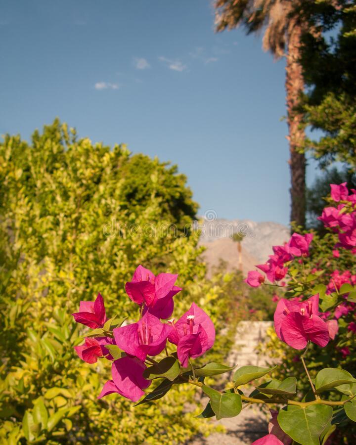Warme rosa Bougainvillea lizenzfreies stockfoto