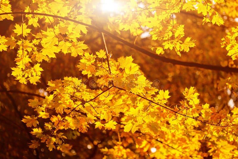 Warme zonnestralenpas door gele esdoornbladeren Mooie de herfstachtergrond Trillende abstracte dalings bosmening stock afbeelding