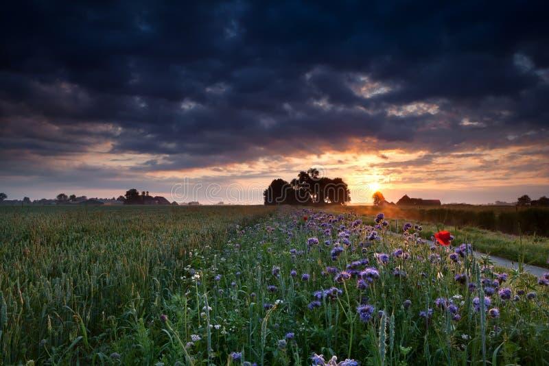 Warmer Sommersonnenaufgang über blühender Wiese stockfotos