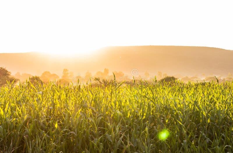 Warmer Sommerweizen, Reisfelder stockbild