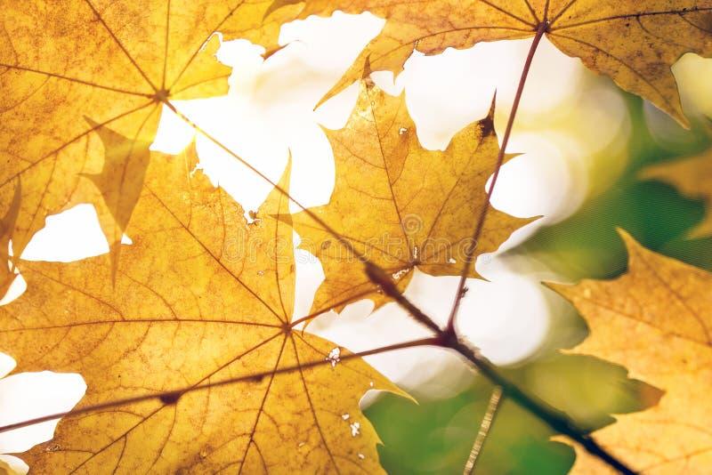 Warmer Sonnenstrahldurchlauf durch gelbe Ahornblätter Schöner Herbsthintergrund Vibrierende abstrakte Fallwaldansicht stockfotografie