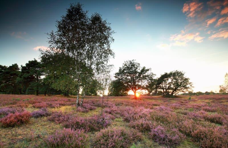 Warmer Sonnenuntergang über Wiese mit blühender Heide lizenzfreies stockbild