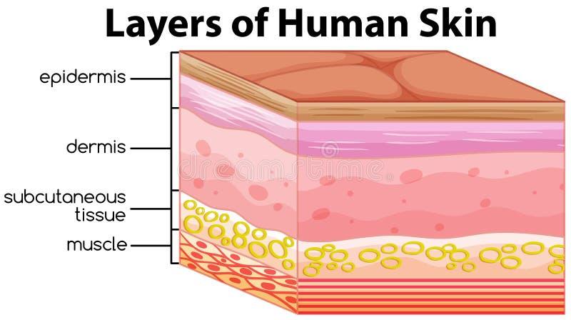 Warstwy ludzki skóry pojęcie ilustracja wektor