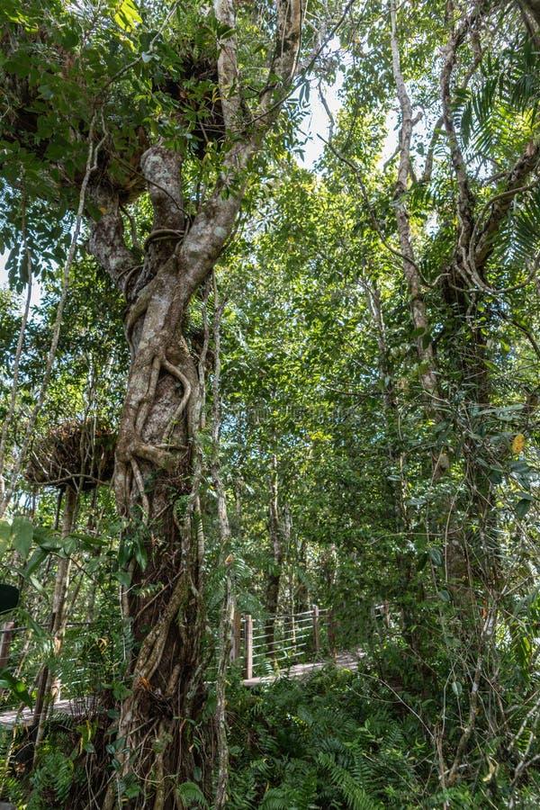 Warstwy roślinność w Kuranda lesie tropikalnym, kopowie Australia fotografia royalty free