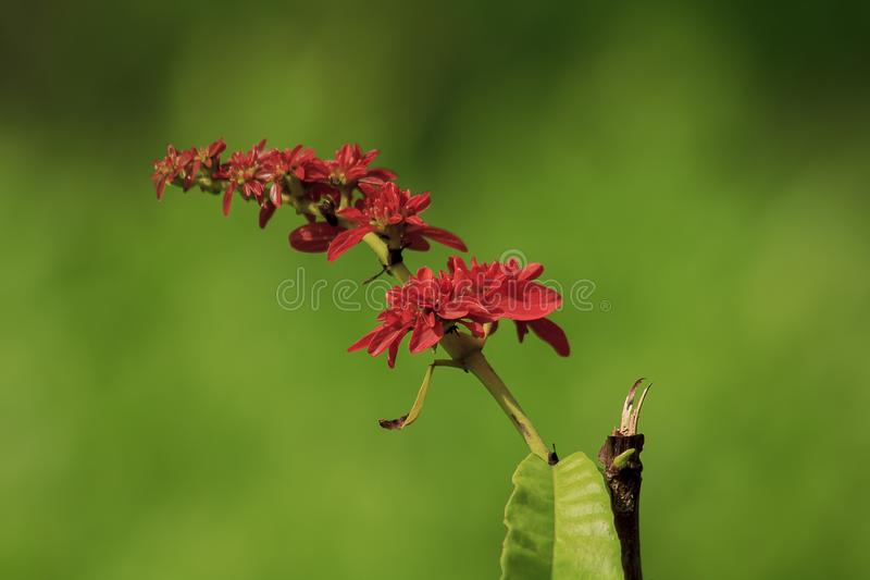 Warszewiczia is a flowering plant in the Rubiaceae family. They are mostly central and South American tropical trees. royalty free stock image