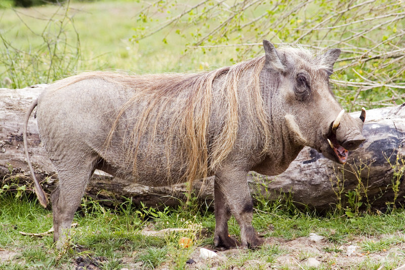 Wart hog. A wart hog eating his lunch stock images