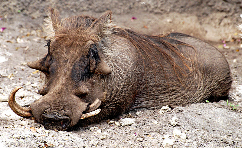 Wart Hog. A picture of this Wart Hog relaxing at the local zoo stock images